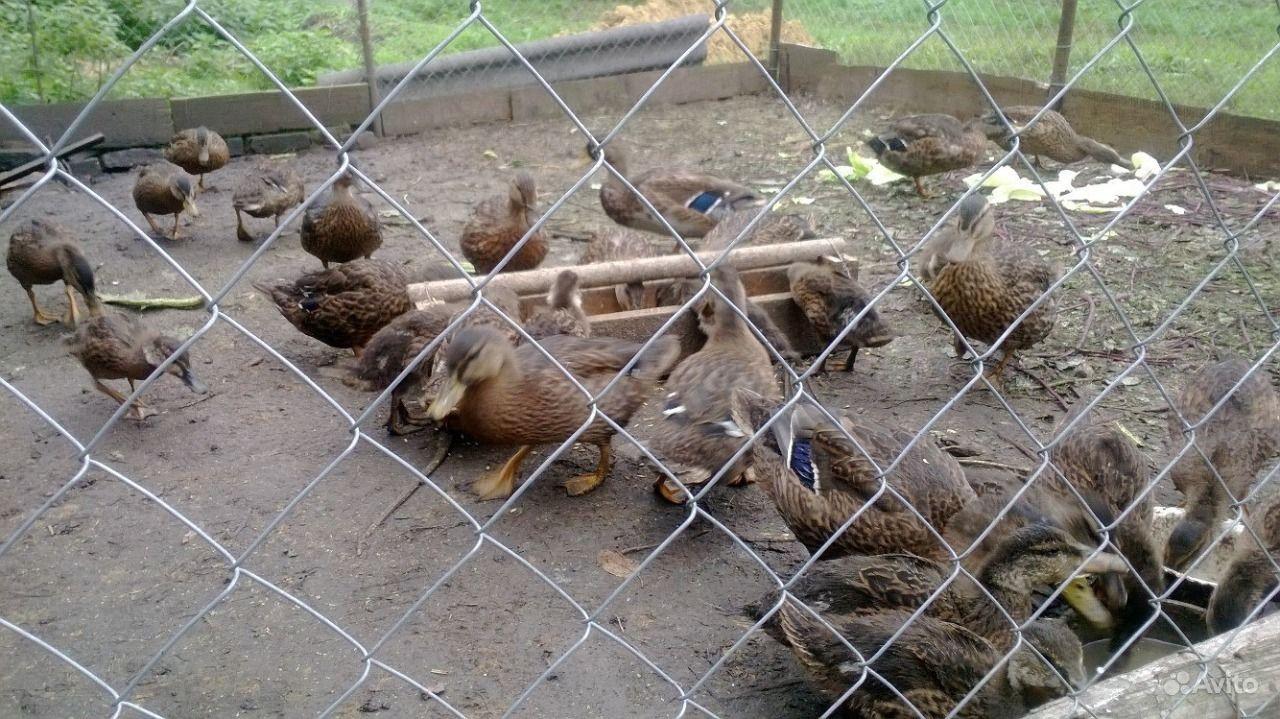 Подсадные утки