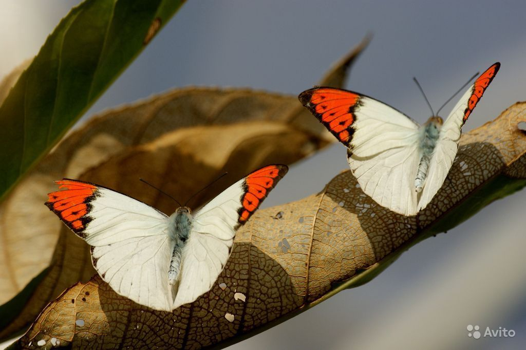 Живые Тропические бабочки Сова Андромеда - фотография № 8