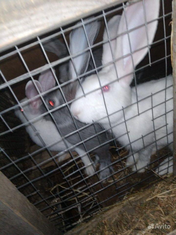 Кролики, порода великанов. 5 штук. Реальному покуп