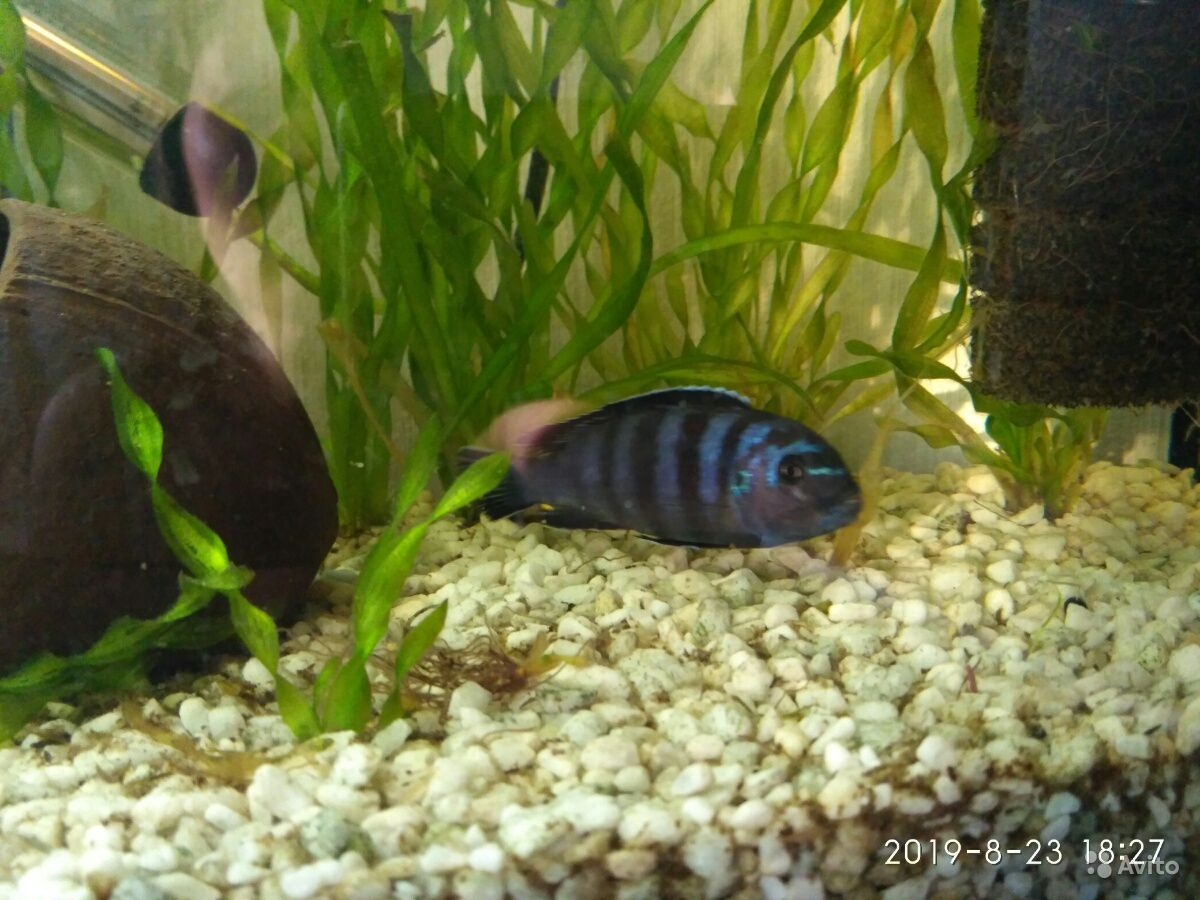 Цихлид рыбка