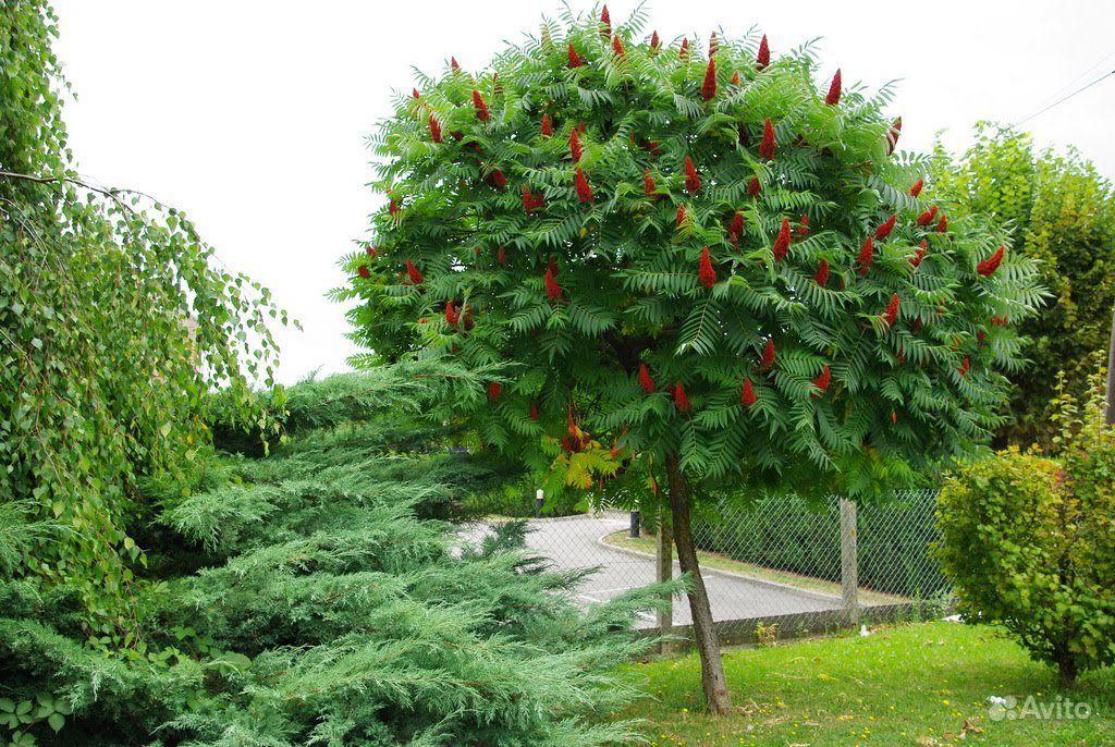 Сумах или уксусное дерево купить на Зозу.ру - фотография № 4