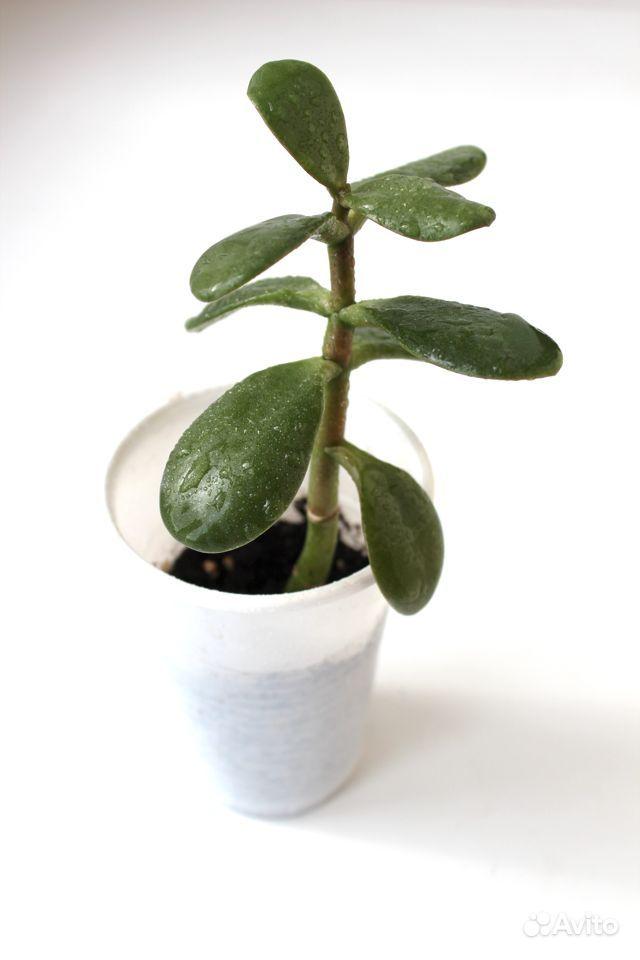 Седум буррито, крассула (денежное дерево) купить на Зозу.ру - фотография № 4