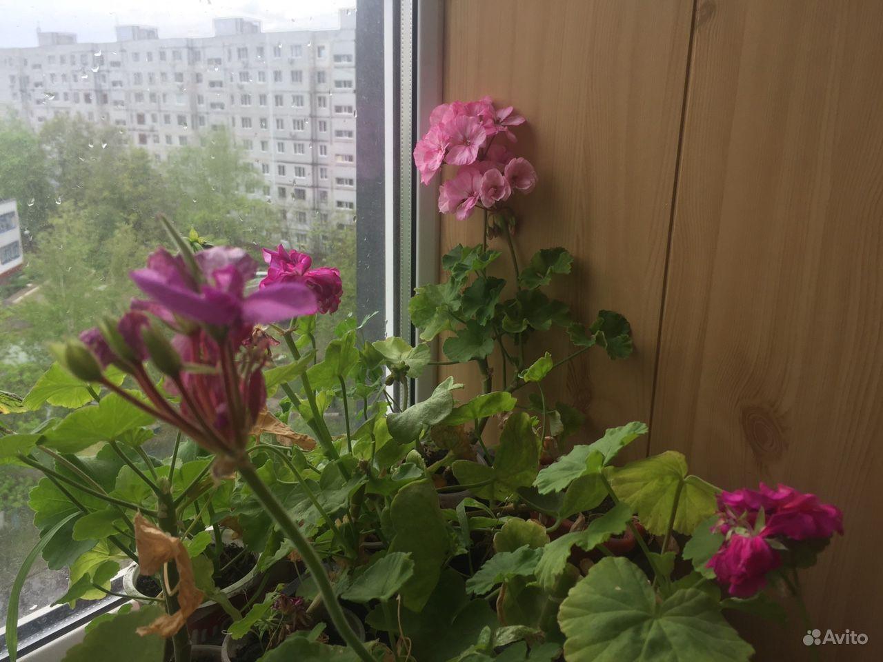 Герань пеларгония купить на Зозу.ру - фотография № 7