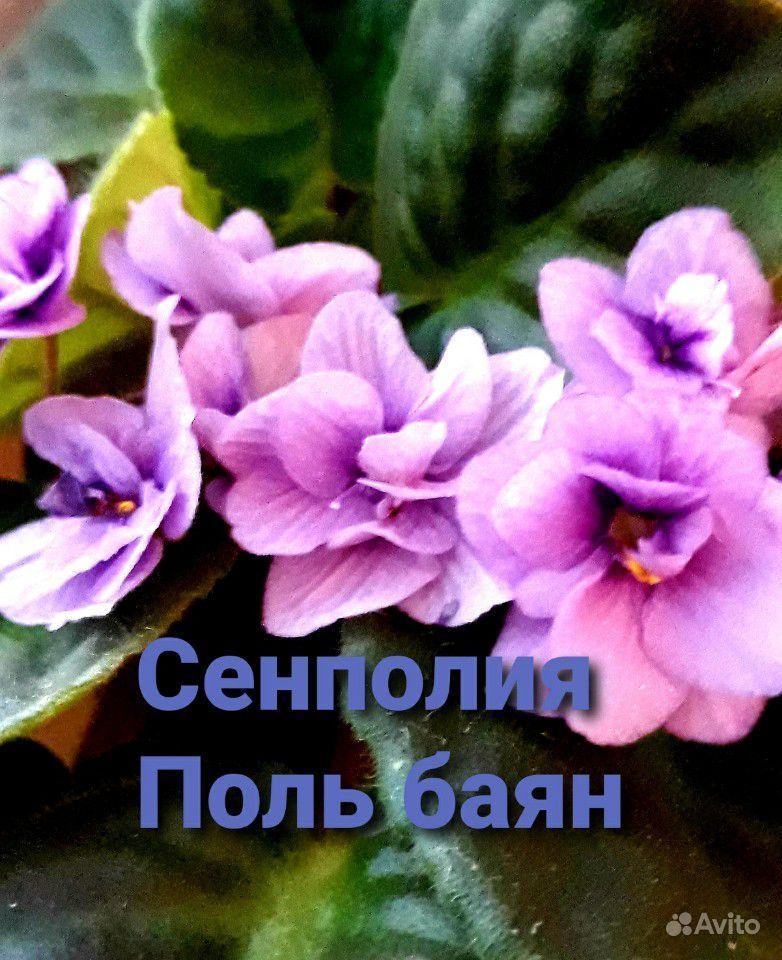 Фиалка - счастье в доме купить на Зозу.ру - фотография № 3