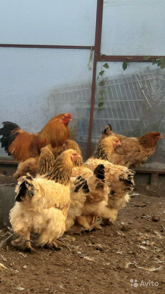 Цыплята палевая брама купить на Зозу.ру - фотография № 4