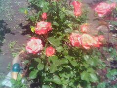 Розы живые цветы