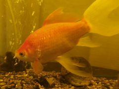 Золотые рыбы с аквариумом