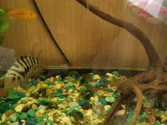 Рыбки(мольки) цыхлозома чернополосая
