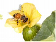 Приглашаем пчел на опыление полей
