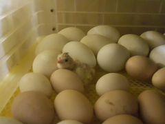 Цыплята, гусята, утята
