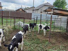 Телята крс для откорма на молоко или зцм