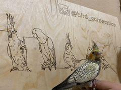 Попугаи кореллы птенцы, ручные (выкормыши)