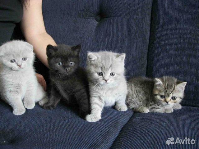 черные породистые котята фото