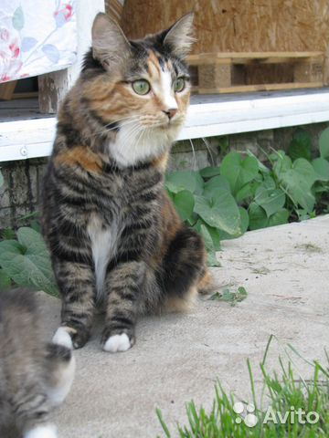 Кошка Курильского Бобтейла ищет жениха 89178050979 купить 1