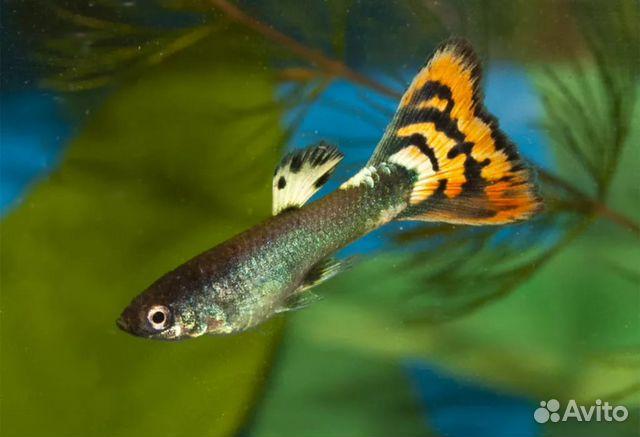 Рыба Гуппи