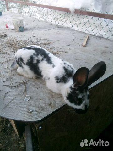 Кролик 89875825513 купить 2