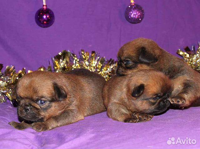 Чудесные щенки пти-брабансон ждут Вас купить на Зозу.ру - фотография № 9