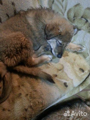 Отдадим щенков купить на Зозу.ру - фотография № 1