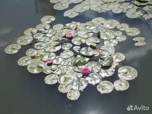 Нимфеи (водные лилии ) купить 3