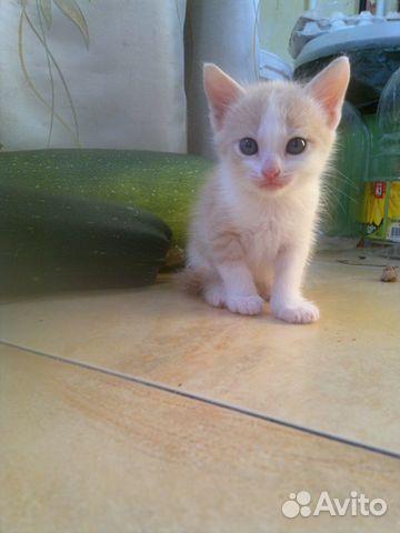 Котенок персикового окраса