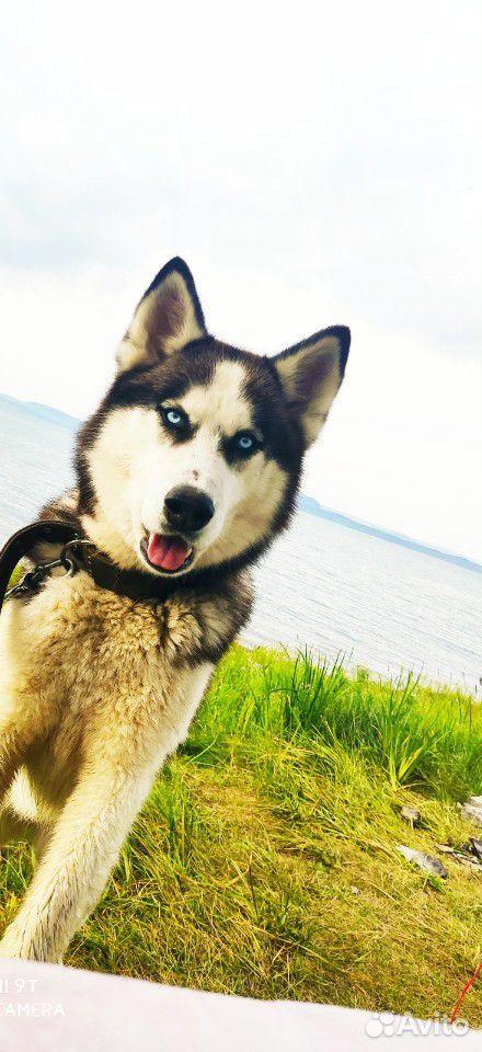 Siberian husky  89832919007 buy 1