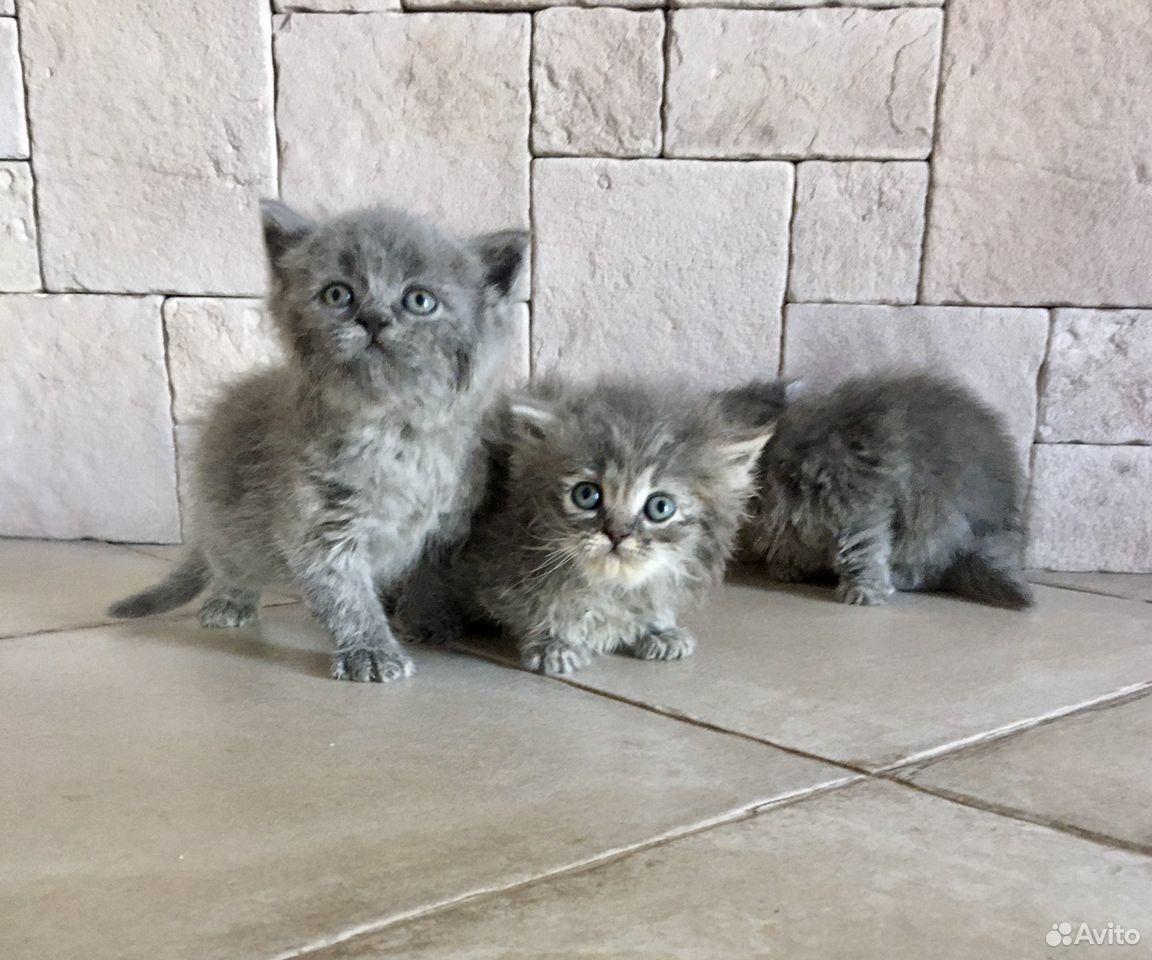 Британские котята в добрые руки бесплатно  89034187889 купить 2