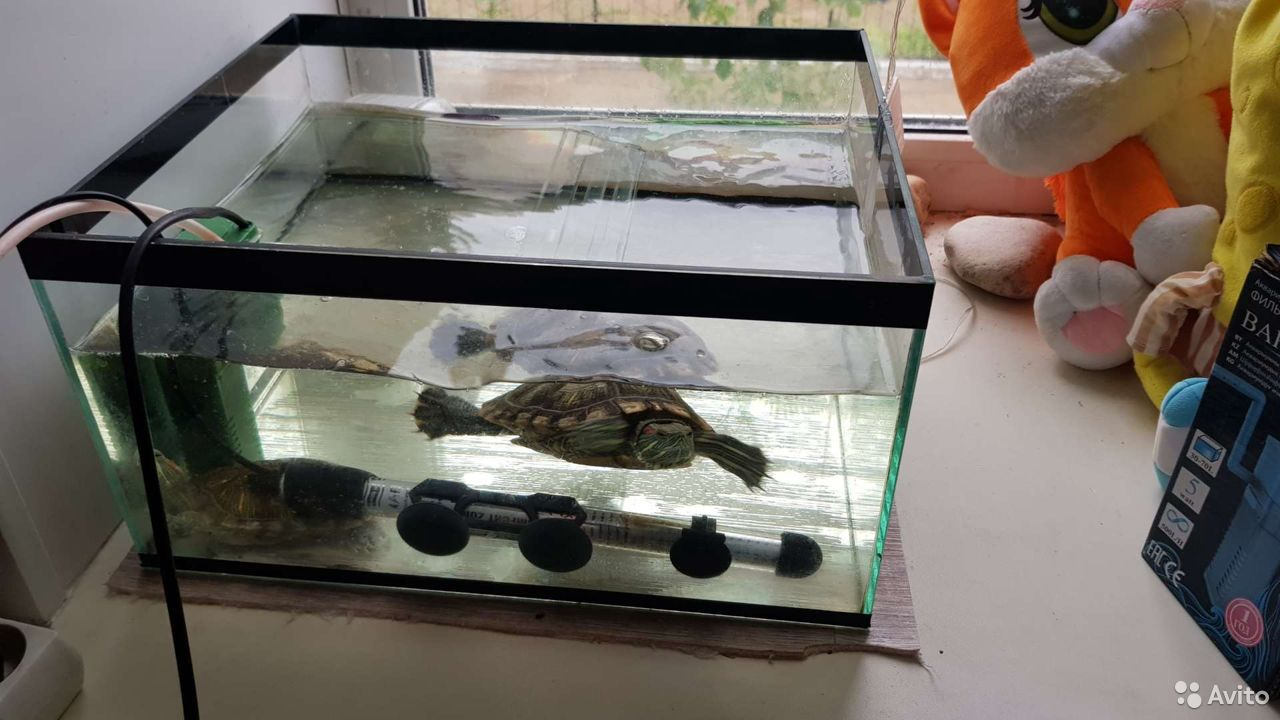 Черепаха  89246412917 купить 3