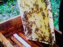 Пчёлы среднерусские