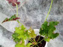 Сортовые хосты и другие растения для сада
