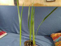 Гиофорба бутылочная (Hyophorbe lagenicaulis)