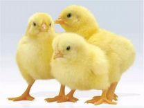 Цыплята бролера кобб и инкубационное яйцо