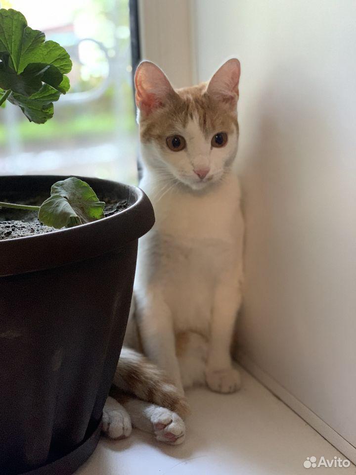 Кошка бело-рыжая  89237951812 купить 3