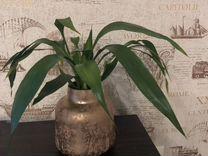 Сандера в вазе — Растения в Екатеринбурге