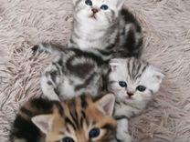 Продам котят шотланцев