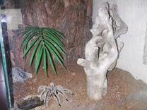 Продам террариум с пауком птицеедом