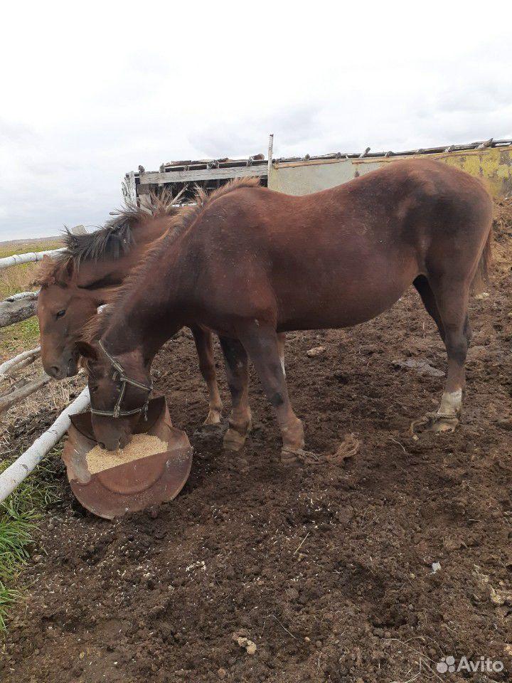 Лошадь  89236753049 купить 2
