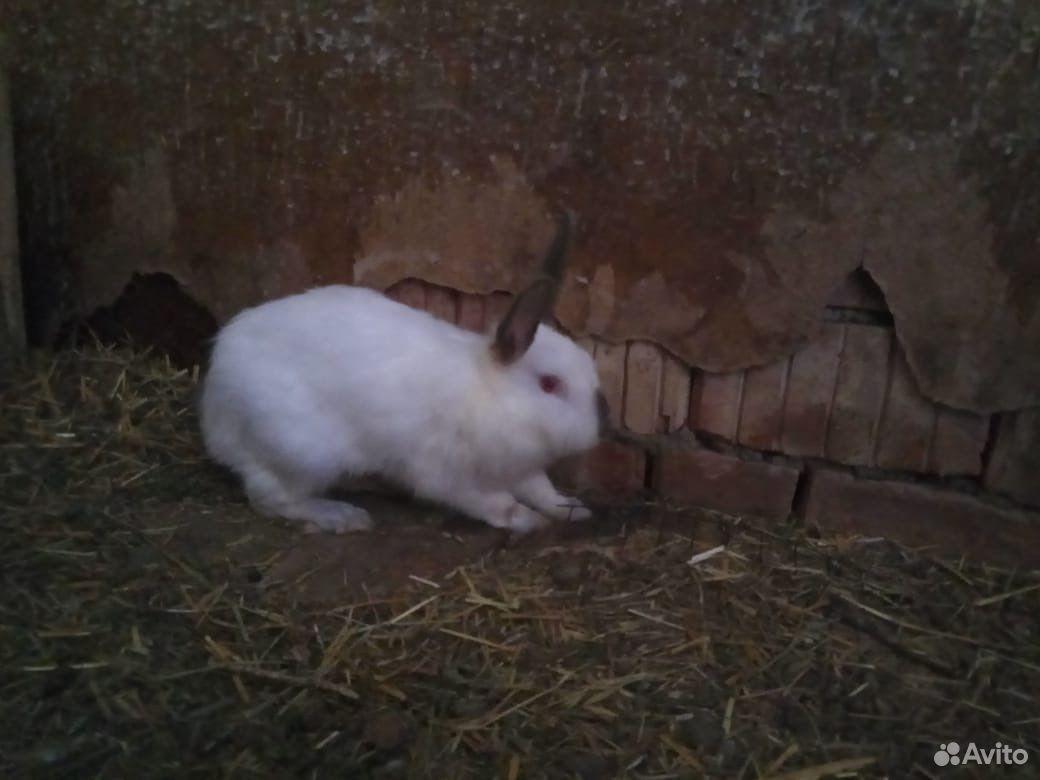 Кролики  89896573585 купить 2