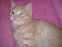 Милые котята полуперсы